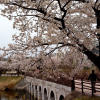 水原市の桜の名所はイ・サンが作った貯水池